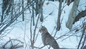 """Lynx on the Dempster Highway"" (Charlie James)"