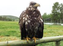 Young Bold Eagle