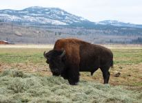 Bison on the field
