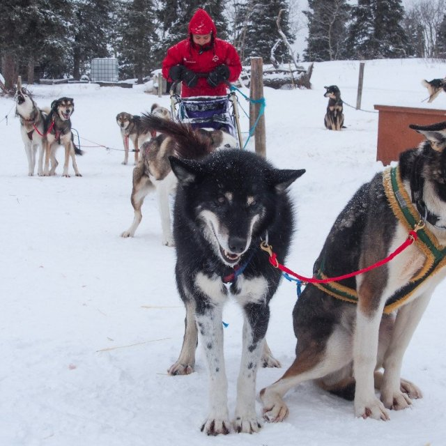 Arctic Day: Dog Sledding Tour | half day (Feb 6, 2019)
