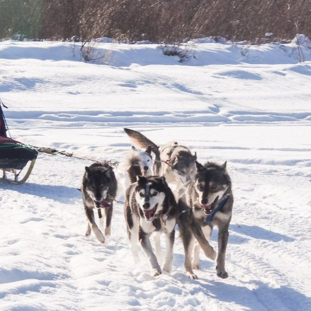 Arctic Day: Dog Sledding Tour | half day (Feb 26, 2019)