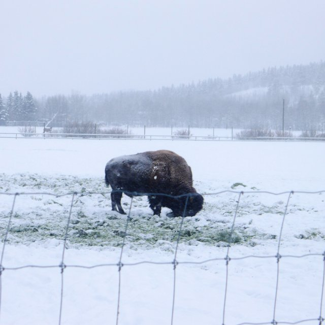 Arctic Day: Wildlife & Hot Springs | half day (Dec 16, 2012)
